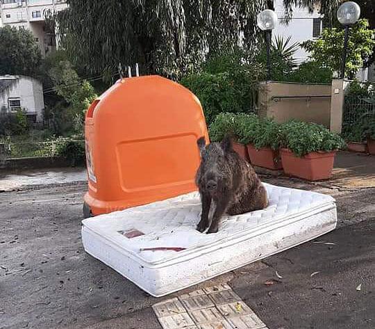 Хайфский кабан на матрасе у мусорки